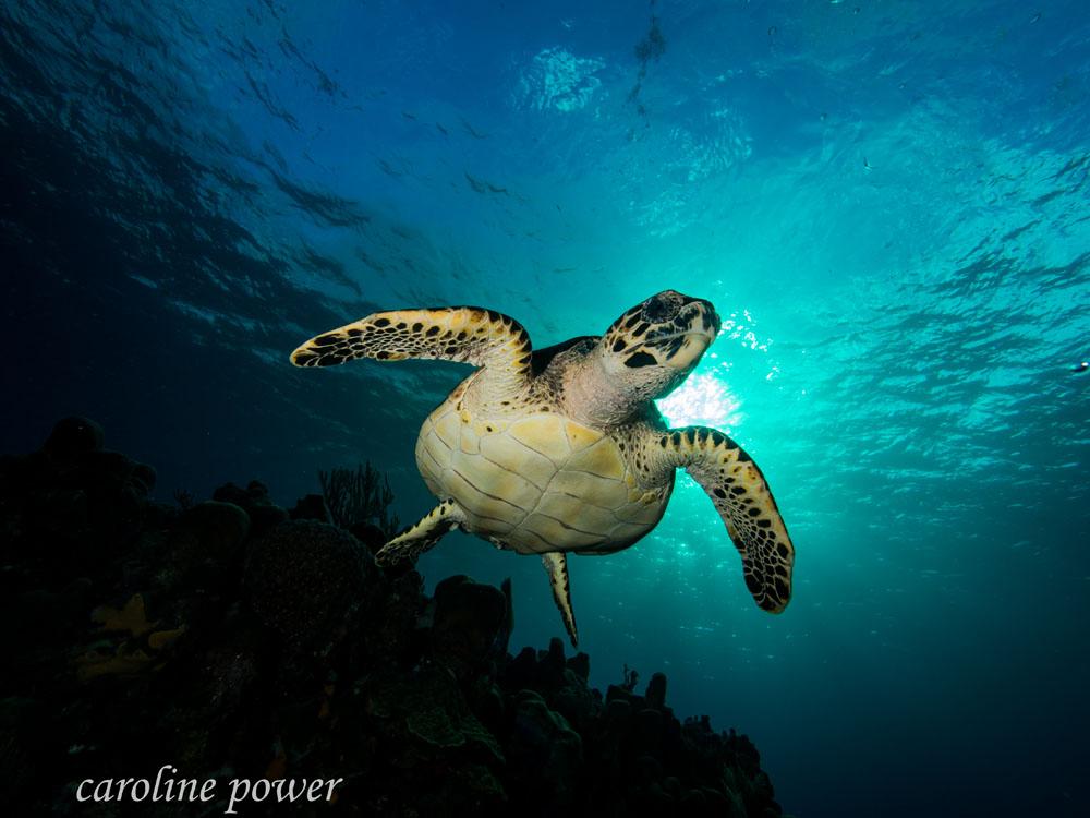 Tortoise-Swimming-Roatan