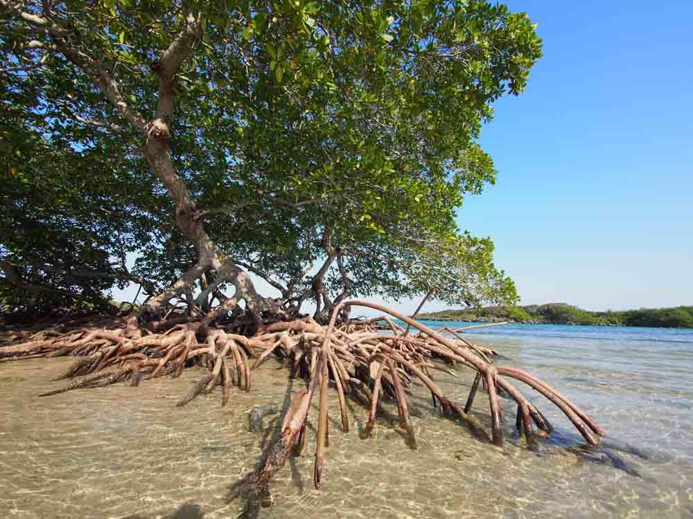 roatan-tree-roots